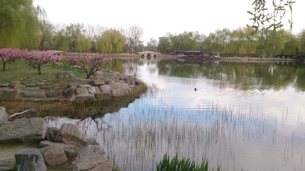 Yuanmingyuan 圆明园: Blossoms and the lake